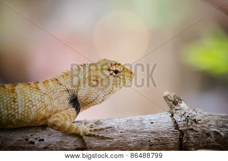 Close-up Of Wild Lizard