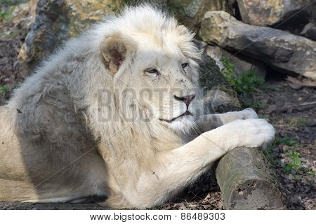 White Lion (panthera Leo Krugeri)