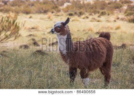 Brown Lama