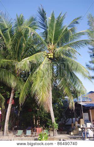 Coconut palm trees on Lamai beach, Koh Samui, Thailand.