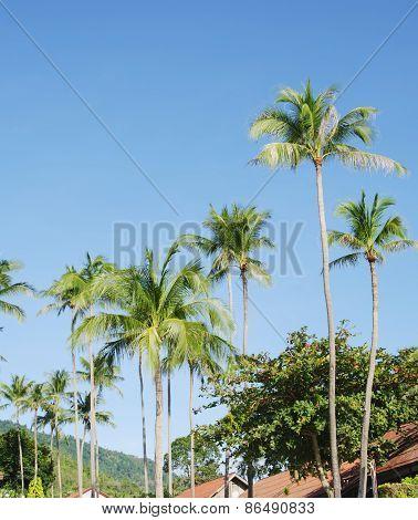 Coconut palm trees,Koh Samui.Thailand.