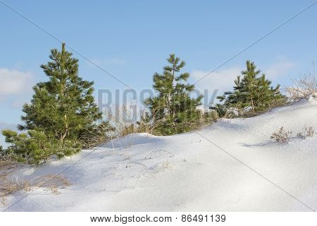 Three Pine Trees On A Snowy Hill