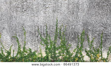 Green Creeper Plant On Old Concrete Wall