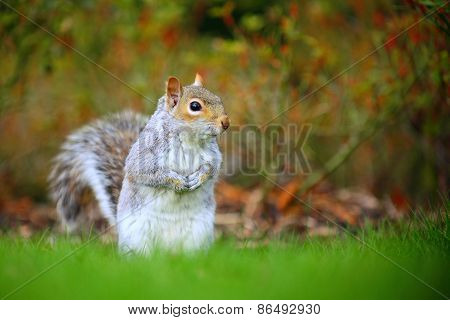 Gray squirrel in the wild