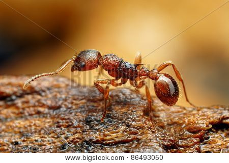 Closeup of myrmica ant