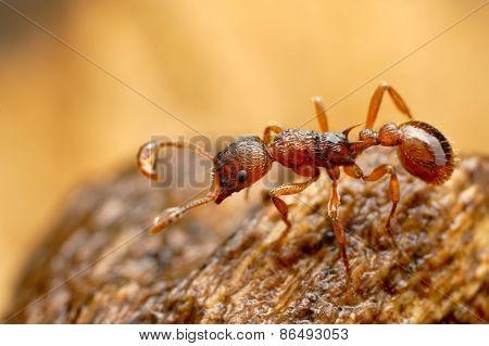 Closeup of myrmica ant