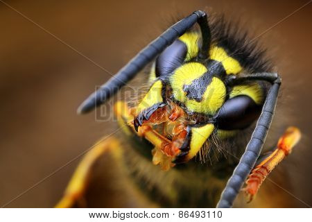 Closeup of wasp Vespula vulgaris