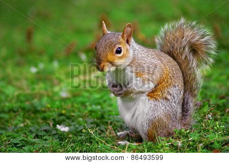A gray squirrel on the ground with a blurred background