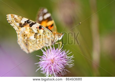 Butterfly on the flower feeding on nectar