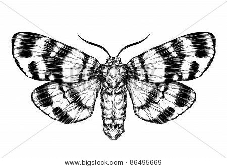 Butterfly / moth sketch. Detailed realistic sketch of a butterfly