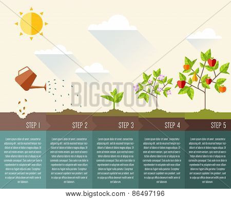 Steps of plant growth. Timeline infographic design