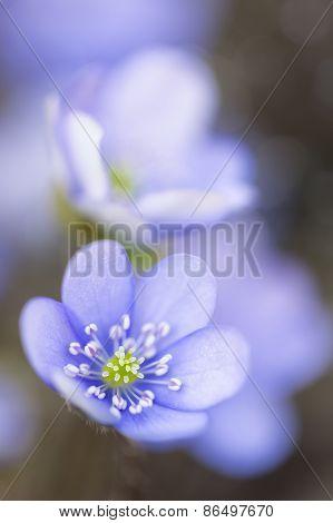 Hepatica nobilis flower closeup shot in the garden