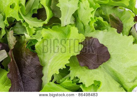Green and red leaf of lettuce close up.