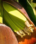picture of banana tree  - Banana trees in a banana plantation in Queensland Australia - JPG
