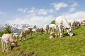 pic of calf cow  - Summer season on Italian Alps - JPG