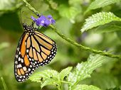 stock photo of monarch  - A beautiful monarch buttefly - JPG