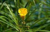 foto of oleander  - Yellow oleander flower Thevetia blossoms on the street in India - JPG