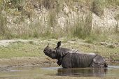 picture of greater  - Rhinoceros unicornis - JPG