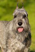 image of schnauzer  - Portrait of beautiful silver standart schnauzer dog - JPG