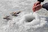 picture of sun perch  - Ice fishing - JPG