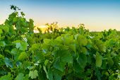 stock photo of shiraz  - Wine valley at sunset at Barossa South Australia - JPG