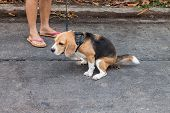 stock photo of dog poop  - Adorable beagle dog pooing while owner stand aside - JPG