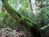 picture of redwood forest  - Moss Covered Tree Big Basin Redwoods State Park Boulder Creek California - JPG