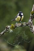 picture of tit  - great tit perched on a branch - JPG