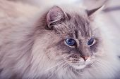 picture of animal eyes  - Beautiful cat with blue eyes - JPG