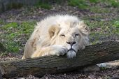 stock photo of african lion  - Male white South African lion  - JPG
