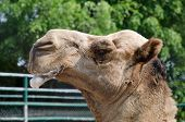 picture of camel  - Camel in zoo salivary frothy - JPG