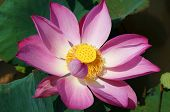Постер, плакат: Close Up Lotus Flower Spring