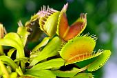 stock photo of flytrap  - Dionaea muscipula , known as flytrap, in closeup, isolated on nature background