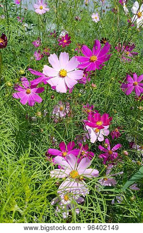 Beautiful Cosmos Flowers