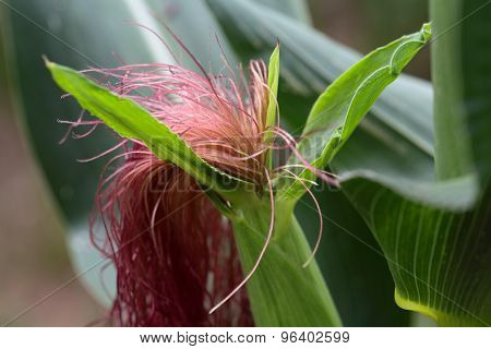 Female Flower Of Maize