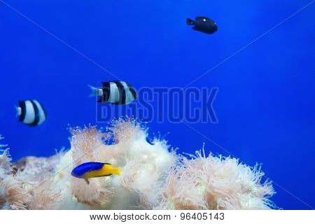 Tripical Fishes And White Coral In Aquarium