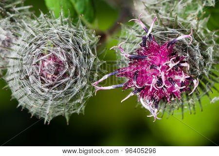 Blooming Greater Burdock, Arctium Lappa, Macro, Selective Focus