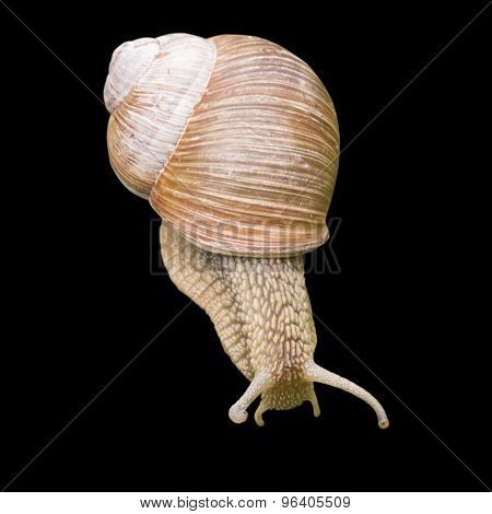 Helix Pomatia Edible Snail Isolated On Black