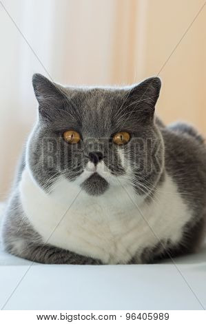 British Shorthair Cat In The Bedroom