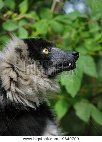 Profile of the ruffed lemur