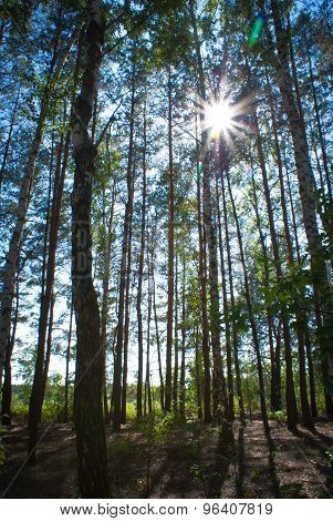 Sunny Summer Birch Forest.
