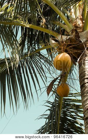 Mellow coconuts On Palm