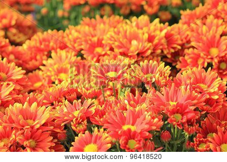 Orange flowers of gerbera
