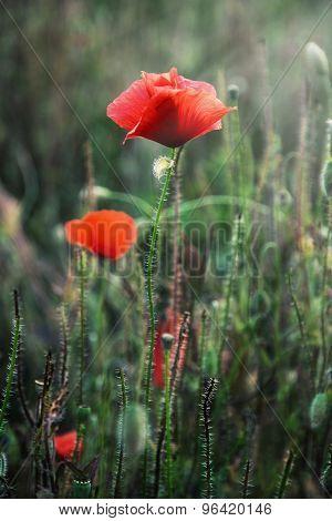 Red Corn Poppy Flowers