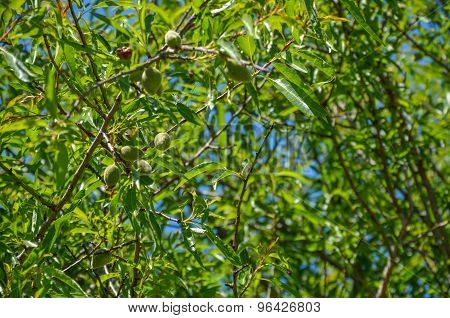 Almond Foliage With Green Almonds On The Tree
