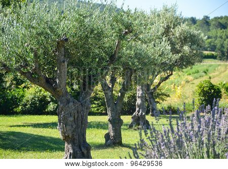Row Of Olive Trees And Lavender Flowers