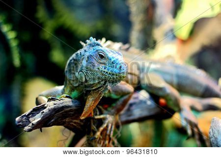 portrait of iguana head
