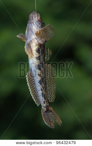 Goby Fish In Hangs On A Hook,  Fisherman Close Up