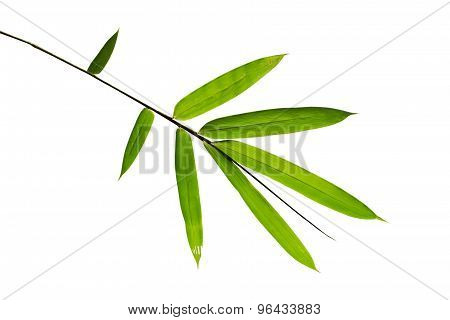 Close up Green bamboo leave on white isolate background