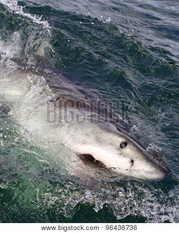 Great white shark surfacing